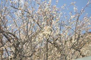2014-03-11  春の木.jpg