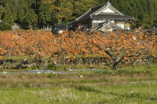 花御所柿2.jpg